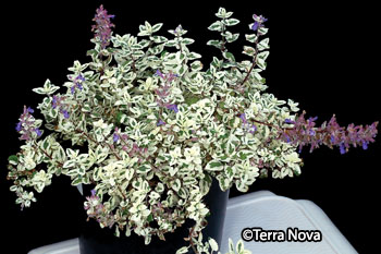Nepeta x faassenii 'Angel's Wings'