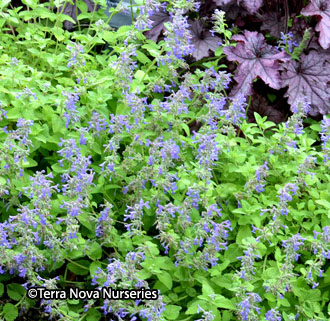 Nepeta x faassenii 'Limelight' – Order soon, 9 available!