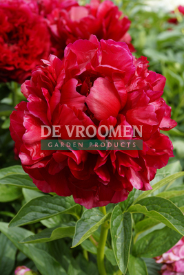 Paeonia 'Henry Bockstoce' – Sorry, sold out!
