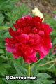 Paeonia 'Henry Bockstoce' – Order soon, one left