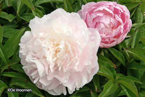 Paeonia 'Nancy Nora'