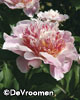 Paeonia lactiflora 'Do Tell'
