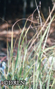 Panicum virgatum 'Heavy Metal' – Blue Switch Grass