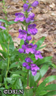 Penstemon strictus -- Sorry, SOLD OUT