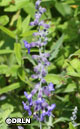 Perovskia atriplicifolia 'CrazyBlue' – Order soon, five available!