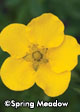 Potentilla fruticosa 'Happy Face® Yellow'
