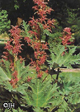 Rheum palmatum var. tanguticum – Chinese Rhubarb – Order soon, six available