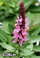 Salvia nemorosa 'Sensation Rose' Pkg. of four