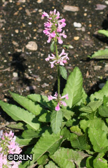 Stachys officinalis 'Pink Cotton Candy' – Order soon, 12 available!